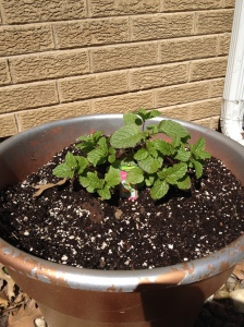 This is sweet mint. It will fill the pot come back every year