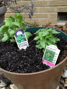 Sweet Basil and Spicy Basil