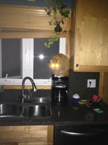 fluffy the coffee pot cat